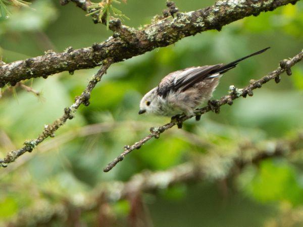 Long-tailed Tit  - Christophe Gailland