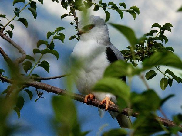 Black-winged Kite  - Morgan Bonfanti
