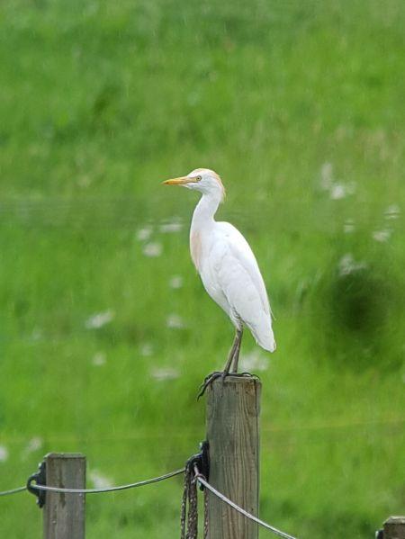 Cattle Egret  - Alois Huber