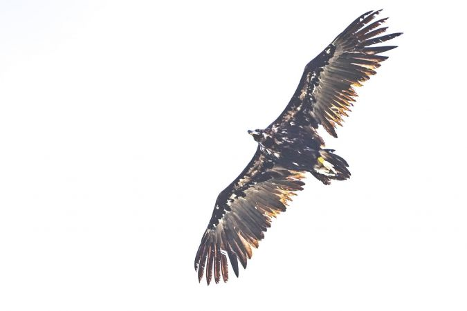 Cinereous Vulture  - Prati Massimo