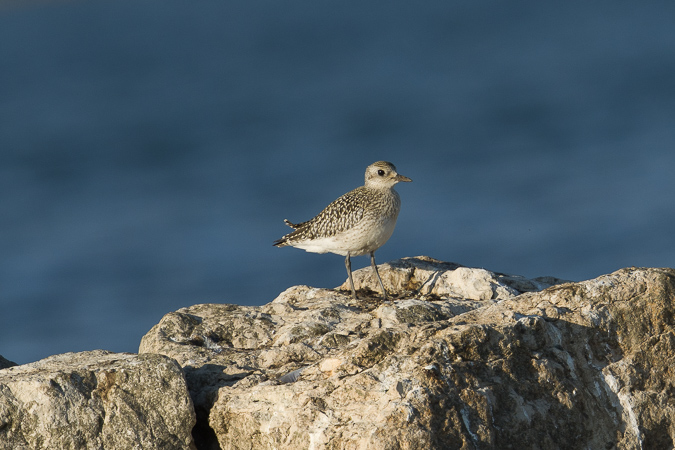 Grey Plover  - Therese Kappeler