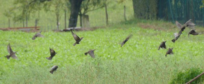 Common Starling  - Violetta Fontana