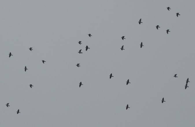 Common Woodpigeon  - Violetta Fontana