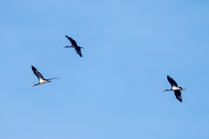 Black Stork  - Adrian Schmid