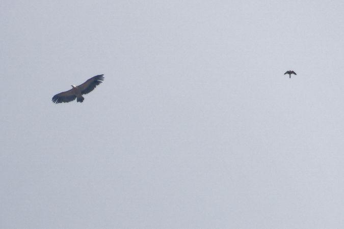 Griffon Vulture  - Luca Jurietti