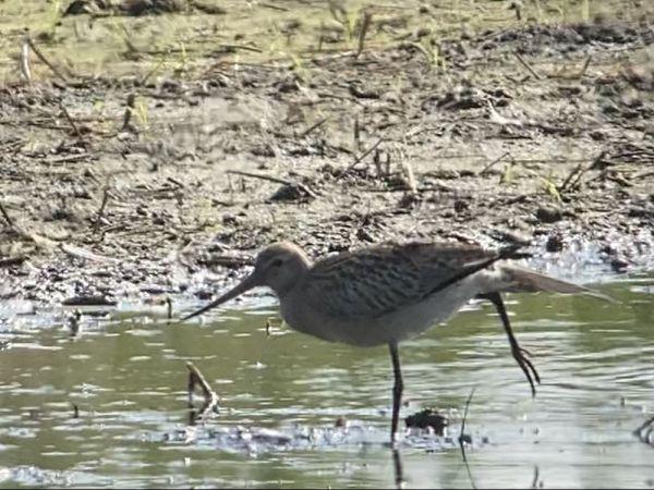 Bar-tailed Godwit  - Louis & Roland Kernen