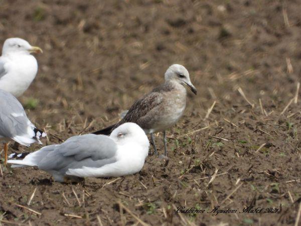 Audouin's Gull  - Catherine Agustoni