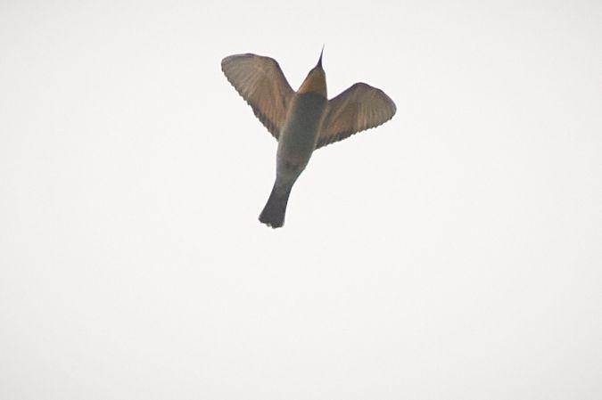 European Bee-eater  - Thomas Gorr