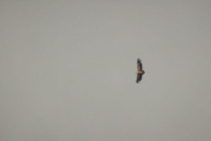 Griffon Vulture  - Thomas Gorr