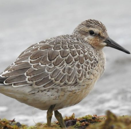 Red Knot  - Nathan Gut