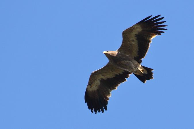 Steppe Eagle  - Arnaud Barras