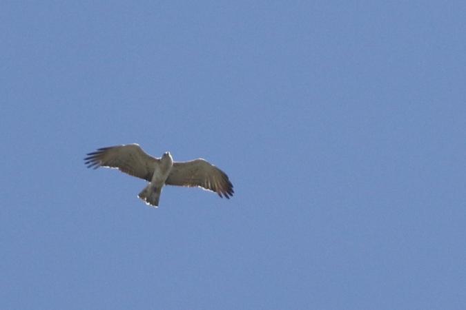 Short-toed Snake-eagle  - Arnaud Barras