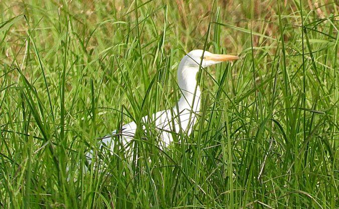 Cattle Egret  - Patrick Schmid