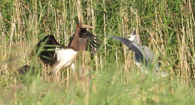 Black Stork  - Patrick Schmid