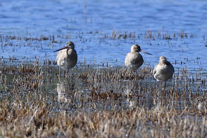 Bar-tailed Godwit  - Tom Milner