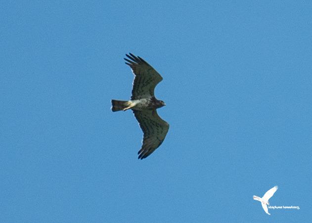 Short-toed Snake-eagle  - Stephane Henneberg
