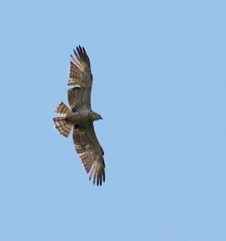 Short-toed Snake-eagle  - Markus Schuhmacher
