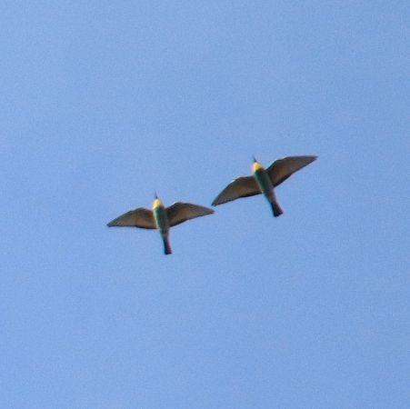 European Bee-eater  - Markus Schuhmacher
