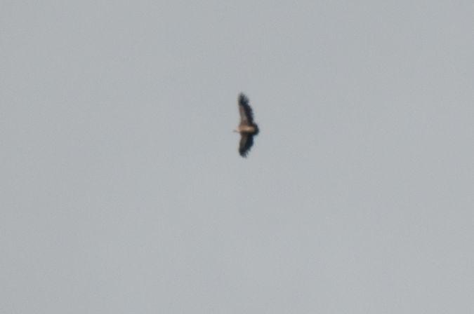 Griffon Vulture  - Daniela Heldner