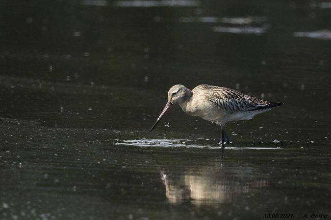 Bar-tailed Godwit  - Berlie Arlette