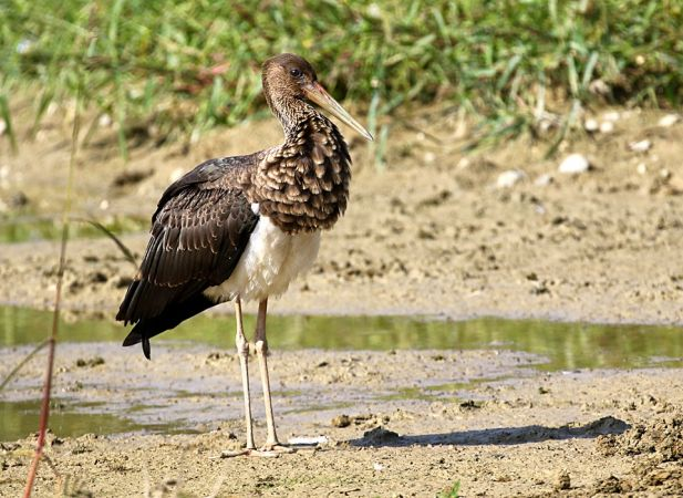 Black Stork  - Enrico Micco