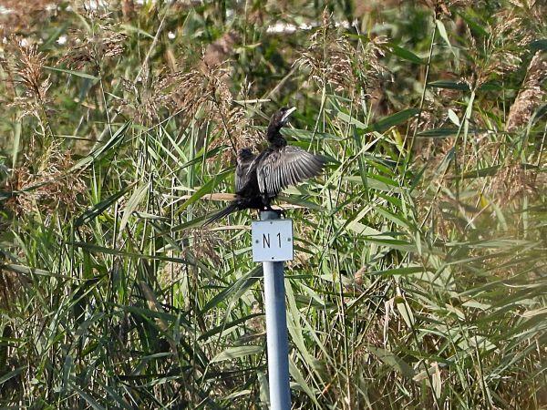 Pygmy Cormorant  - R. + P. Grosswiler