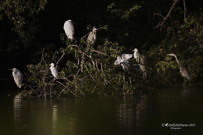 Cattle Egret  - Dolores de Maria