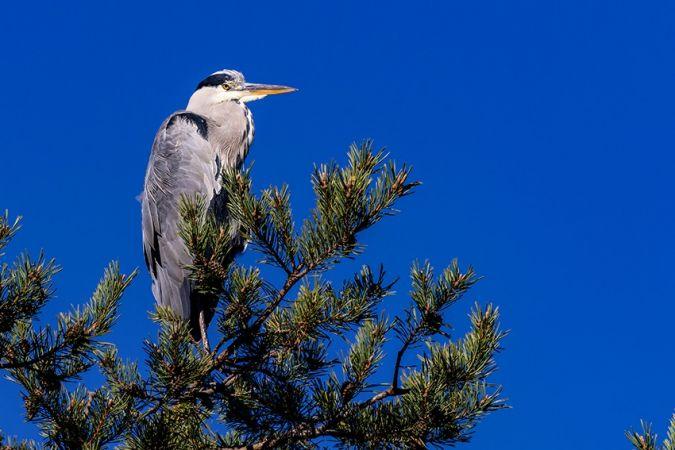Grey Heron  - Fritz Sigg