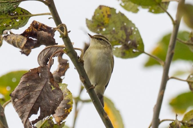 Yellow-browed Warbler  - Stefan Werner