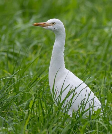 Cattle Egret  - Stefan Werner