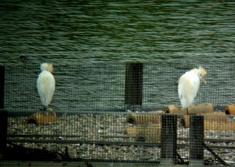 Western Cattle Egret  - Reto Freuler