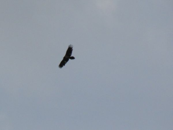 Bearded Vulture  - Frank Vökler
