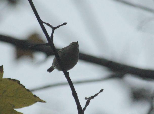 Hume's Leaf Warbler  - Roland Neumann