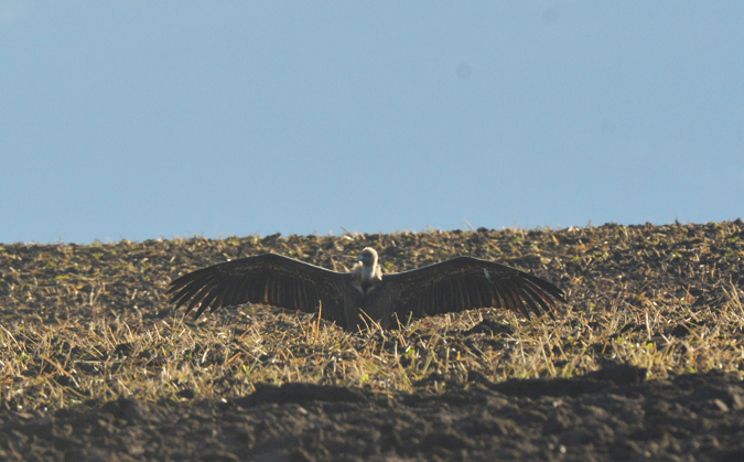 Griffon Vulture  - Martin Becker