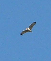 Short-eared Owl  - Wolfgang Dreyer