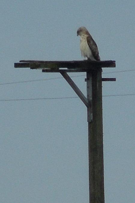 Short-toed Snake Eagle  - Mare Haider