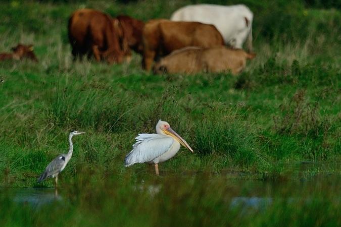 Great White Pelican  - Eckhard Lietzow