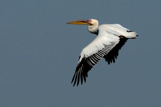 Pélican blanc  - Eckhard Lietzow