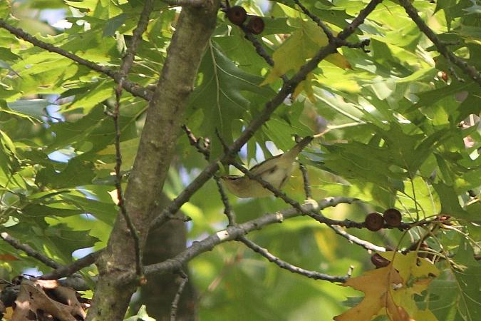 Yellow-browed Warbler  - Jan Daniels-Trautner