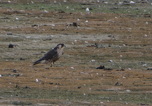 Peregrine Falcon (F.p.calidus)  - Armin Gsell