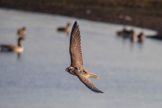 Peregrine Falcon (F.p.calidus)  - Andreas Stern