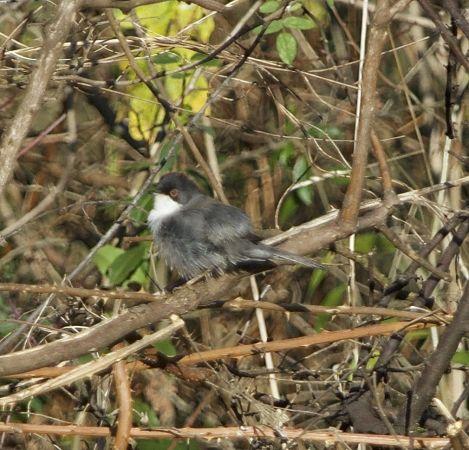 Sardinian Warbler  - René Bürgisser