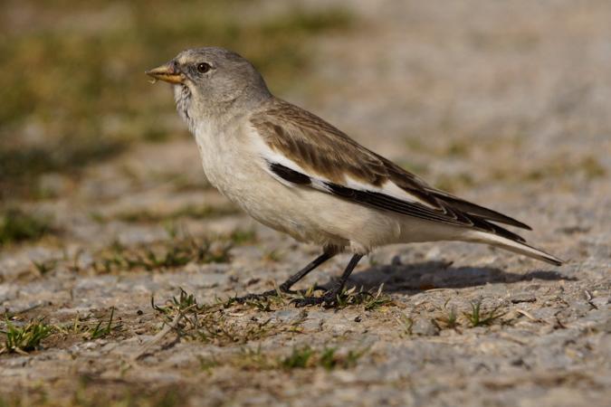 White-winged Snowfinch  - Ulrich Eidam