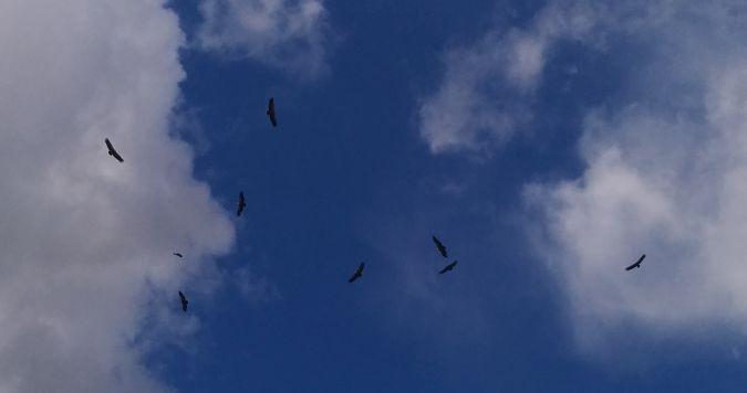 Griffon Vulture  - Katrin Fabricius