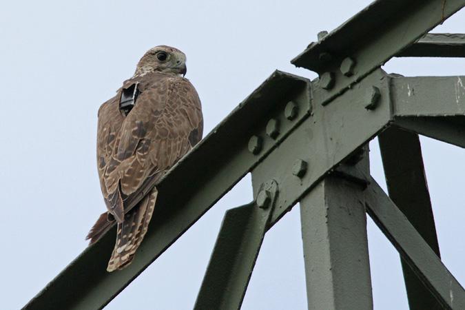 Faucon sacre  - Jens Halbauer