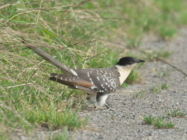 Great Spotted Cuckoo  - Jörn Clausen