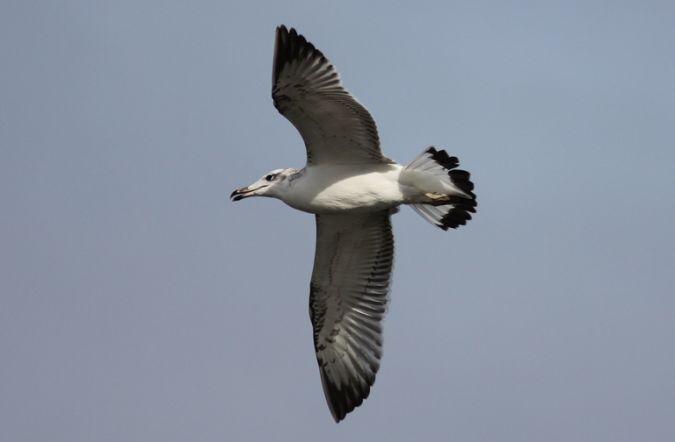 Pallas's Gull  - Michael Tetzlaff