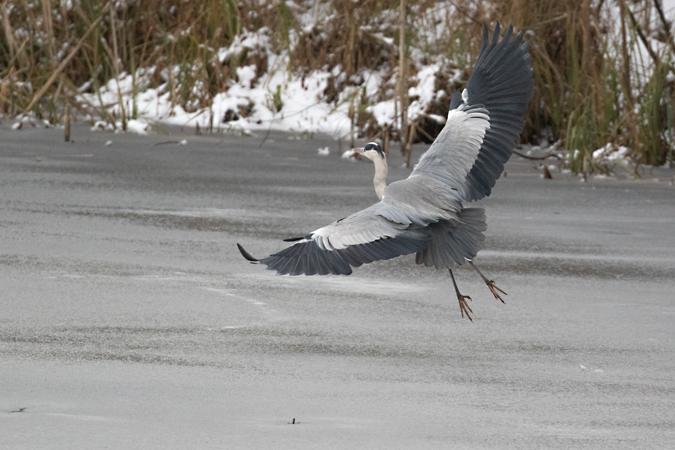 Grey Heron  - Wolfgang Ott