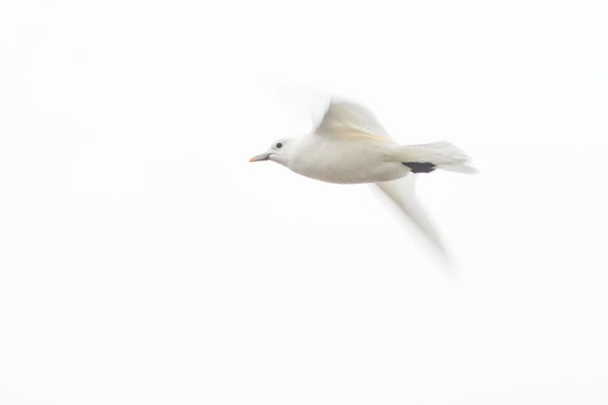 Ivory Gull  - Florian Braun