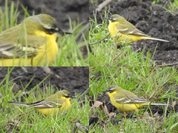 Western Yellow Wagtail, unidentified  - Jan Hein Van Steenis